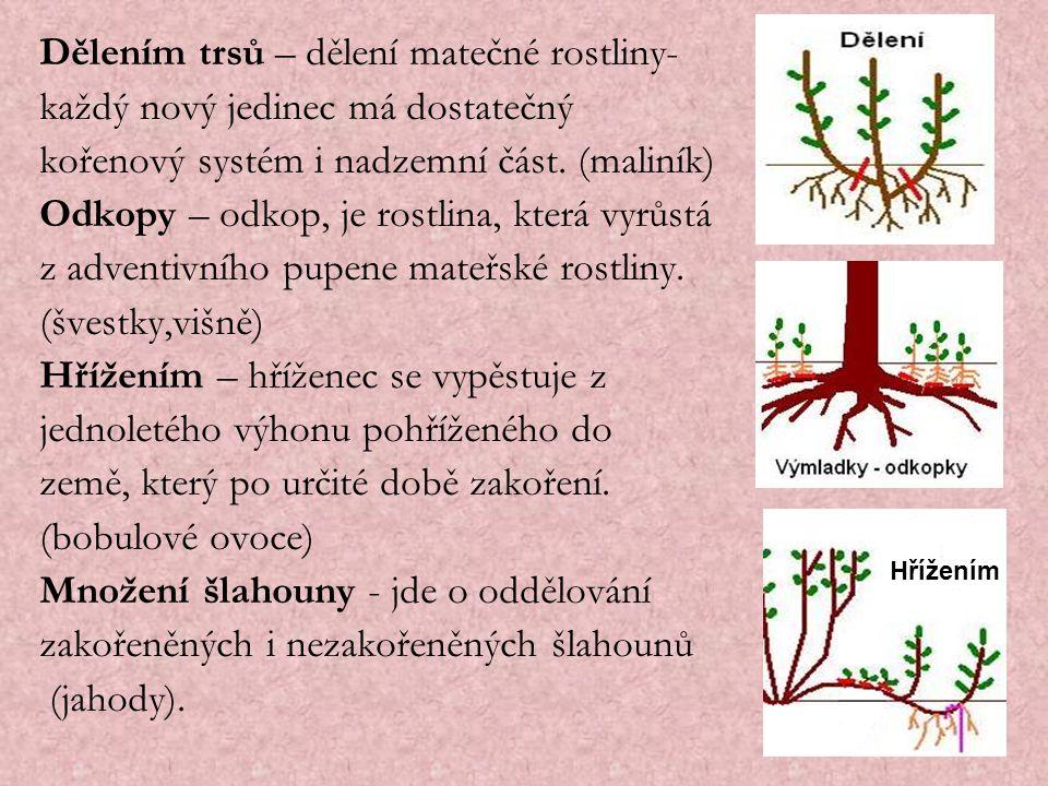 Dělením trsů – dělení matečné rostliny- každý nový jedinec má dostatečný kořenový systém i nadzemní část. (maliník) Odkopy – odkop, je rostlina, která