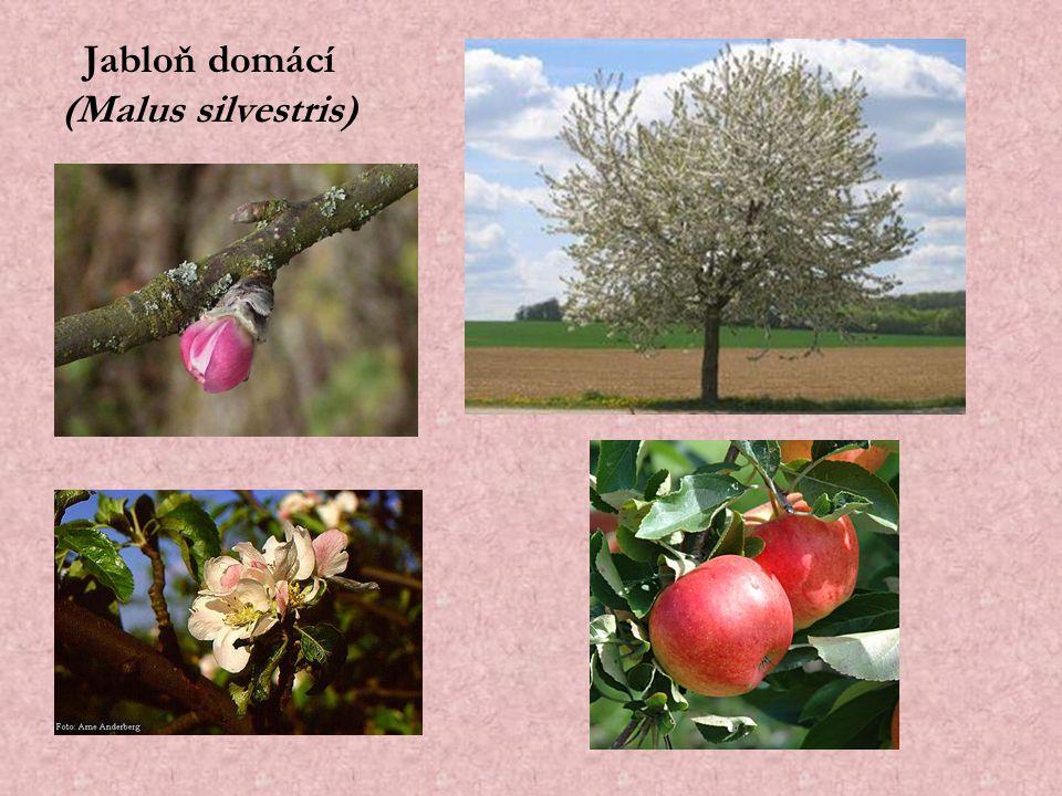 Jabloň domácí (Malus silvestris)