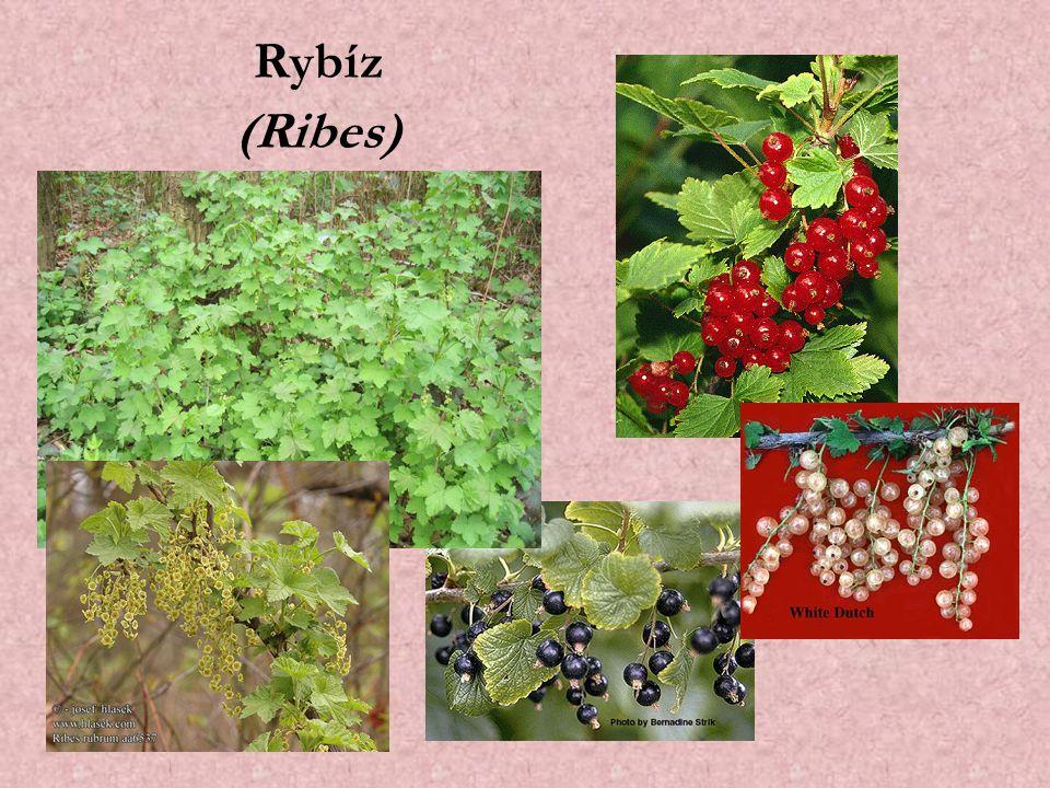 Rybíz (Ribes)