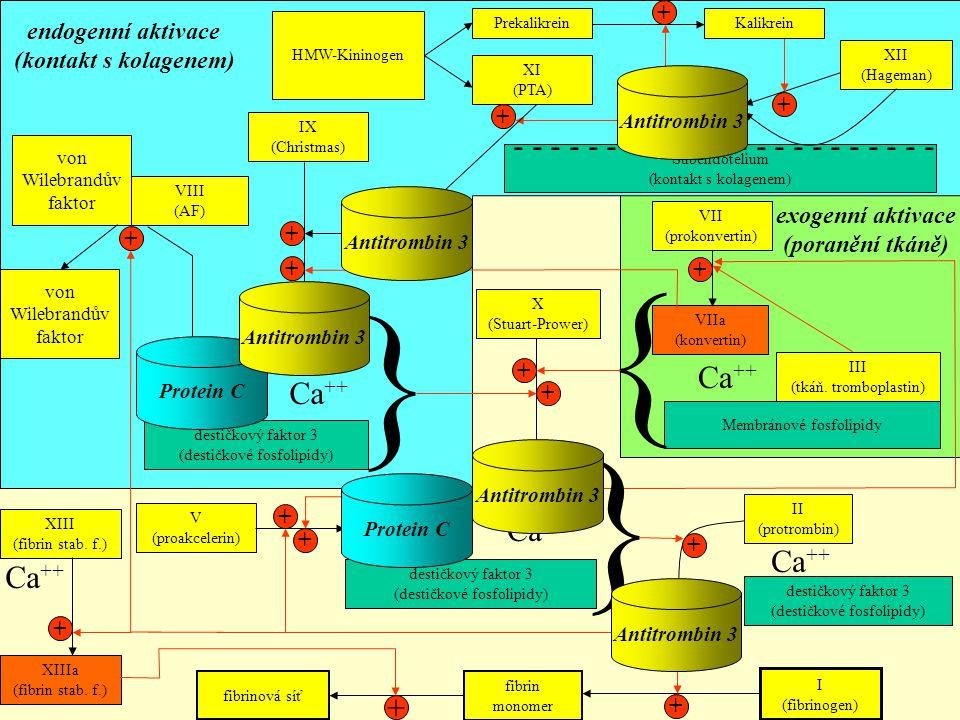 Subendotelium (kontakt s kolagenem) XII (Hageman) - - - - - - - - - - - - - - - - - - - - - - - XIIa (Hageman) + Kalikrein + HMW-Kininogen Prekalikrei