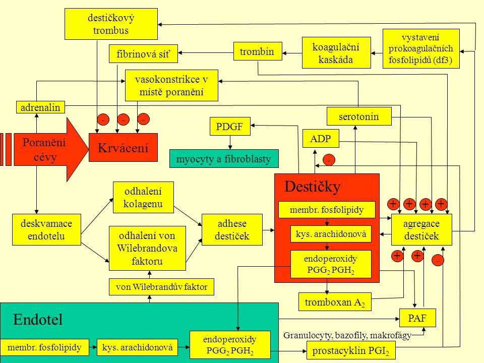 adhese destiček Destičky Endotel Krvácení Poranění cévy agregace destiček ADP + serotonin + vasokonstrikce v místě poranění - von Wilebrandův faktor o