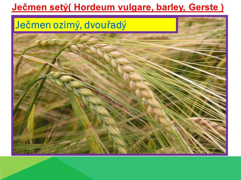 Ječmen setý( Hordeum vulgare, barley, Gerste ) Ječmen ozimý, dvouřadý