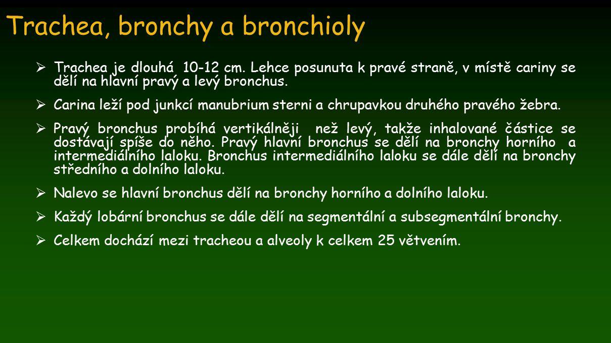 Trachea, bronchy a bronchioly  Trachea je dlouhá 10-12 cm. Lehce posunuta k pravé straně, v místě cariny se dělí na hlavní pravý a levý bronchus.  C