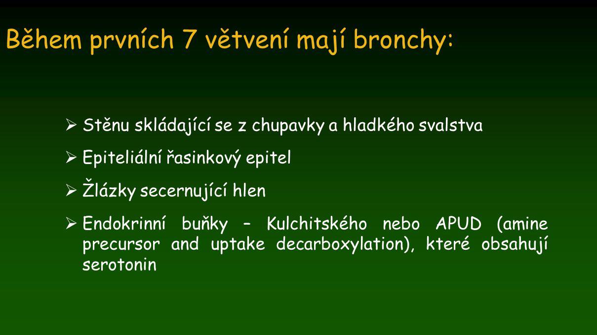 Během prvních 7 větvení mají bronchy:  Stěnu skládající se z chupavky a hladkého svalstva  Epiteliální řasinkový epitel  Žlázky secernující hlen 