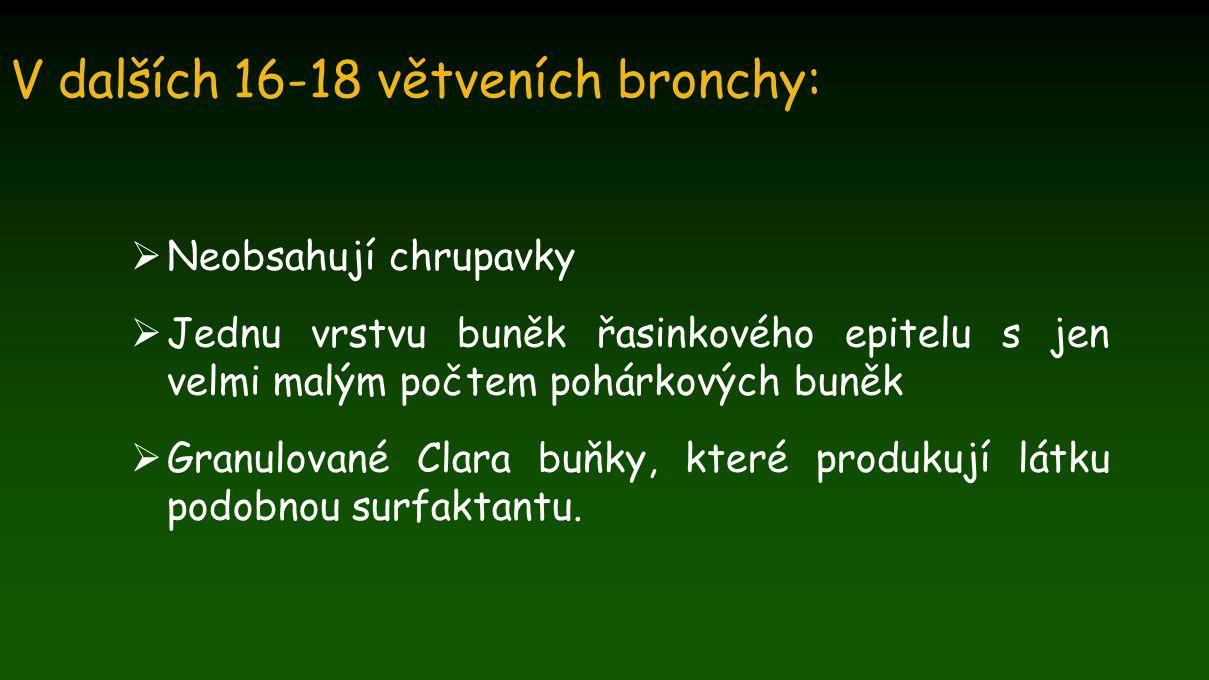 V dalších 16-18 větveních bronchy:  Neobsahují chrupavky  Jednu vrstvu buněk řasinkového epitelu s jen velmi malým počtem pohárkových buněk  Granul