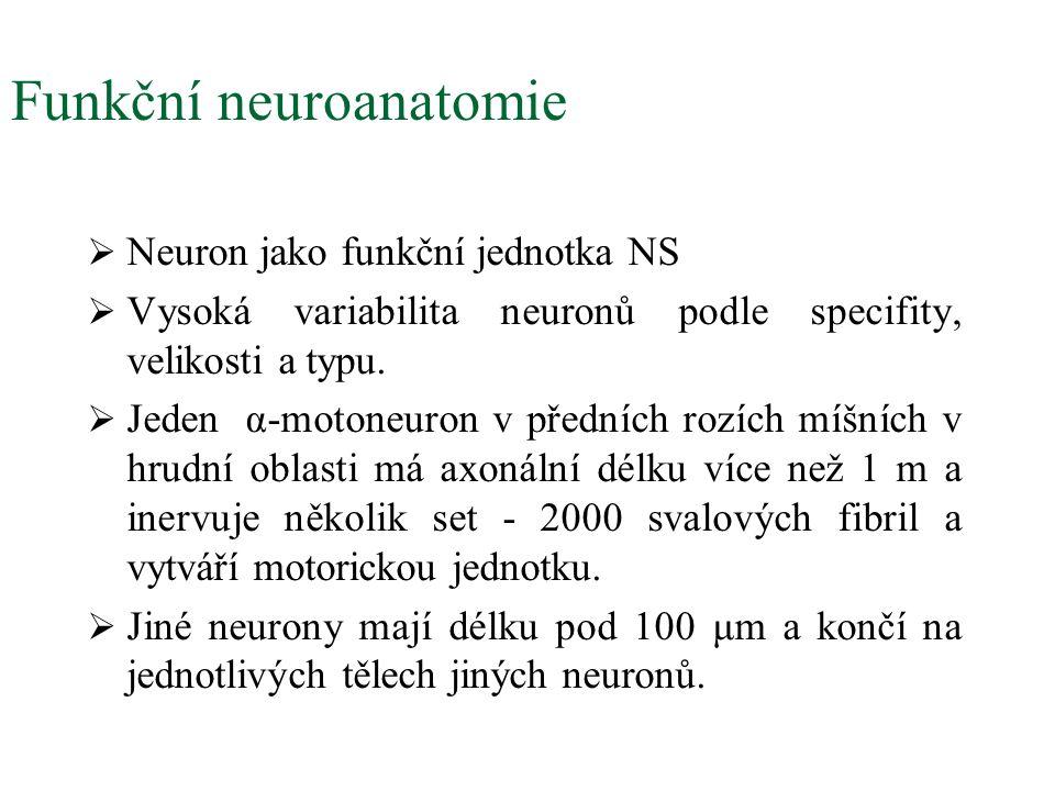 Patofyziologie Huntingtonovy nemoci  Degenerace neuronů ve frontálním laloku a ve striatu.