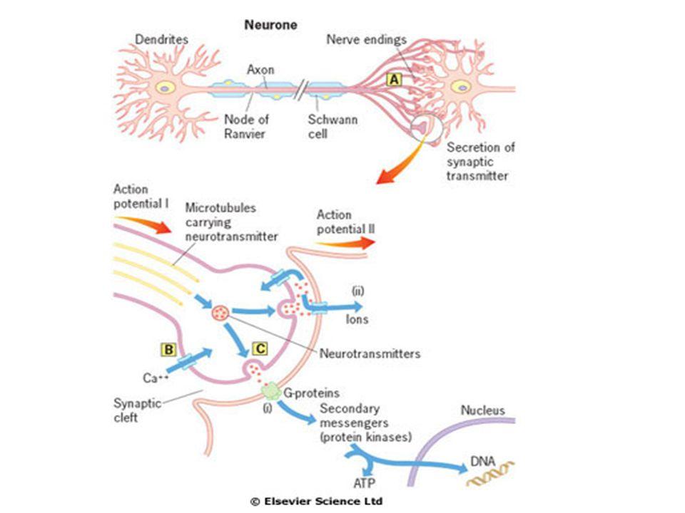 Hemibalismus  Divoké pohyby končetin způsobené obvykle malým infarktem v nc.