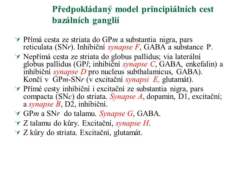 Předpokládaný model principiálních cest bazálních ganglií  Přímá cesta ze striata do GPm a substantia nigra, pars reticulata (SNr). Inhibiční synapse