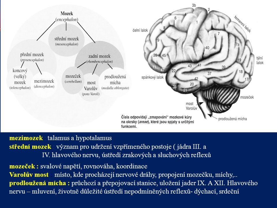 mezimozek : talamus a hypotalamus střední mozek : význam pro udržení vzpřímeného postoje ( jádra III. a IV. hlavového nervu, ústředí zrakových a sluch