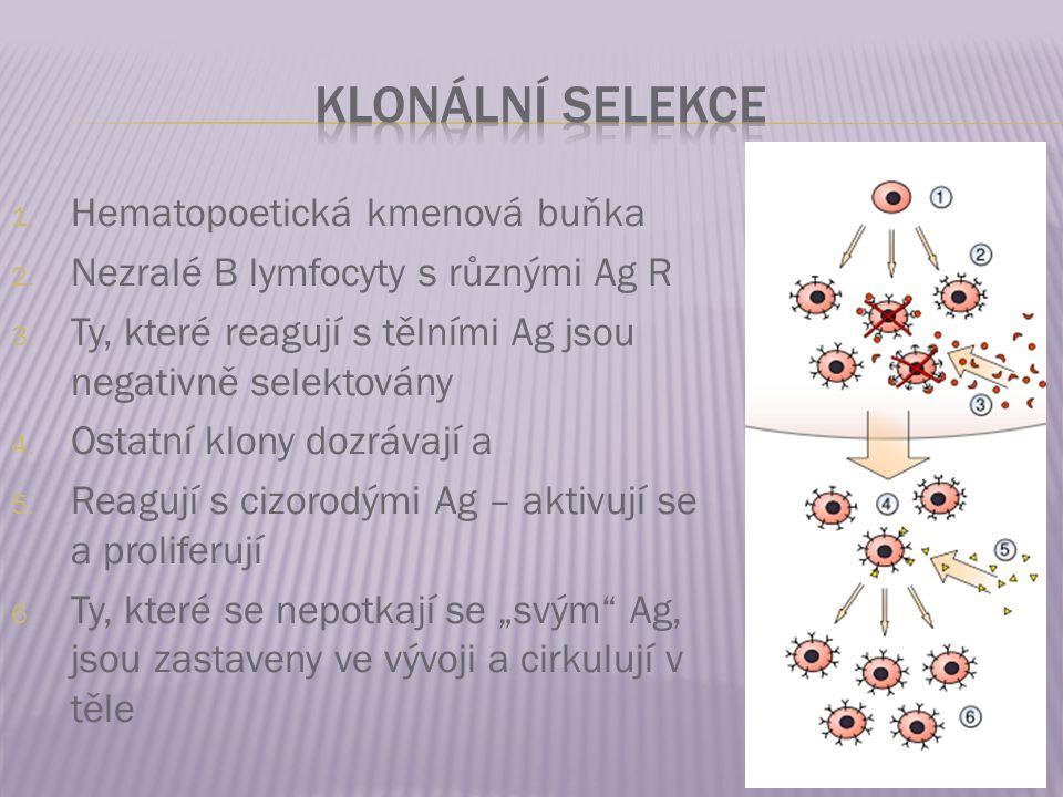 1. Hematopoetická kmenová buňka 2. Nezralé B lymfocyty s různými Ag R 3. Ty, které reagují s tělními Ag jsou negativně selektovány 4. Ostatní klony do