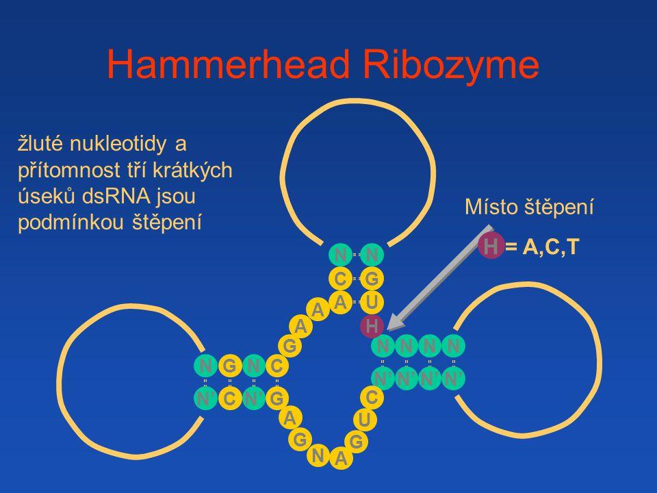 Hammerhead Ribozyme A A G N' G NC G A N NNNN G U A C N H U G A C N C G N H = A,C,T žluté nukleotidy a přítomnost tří krátkých úseků dsRNA jsou podmínk