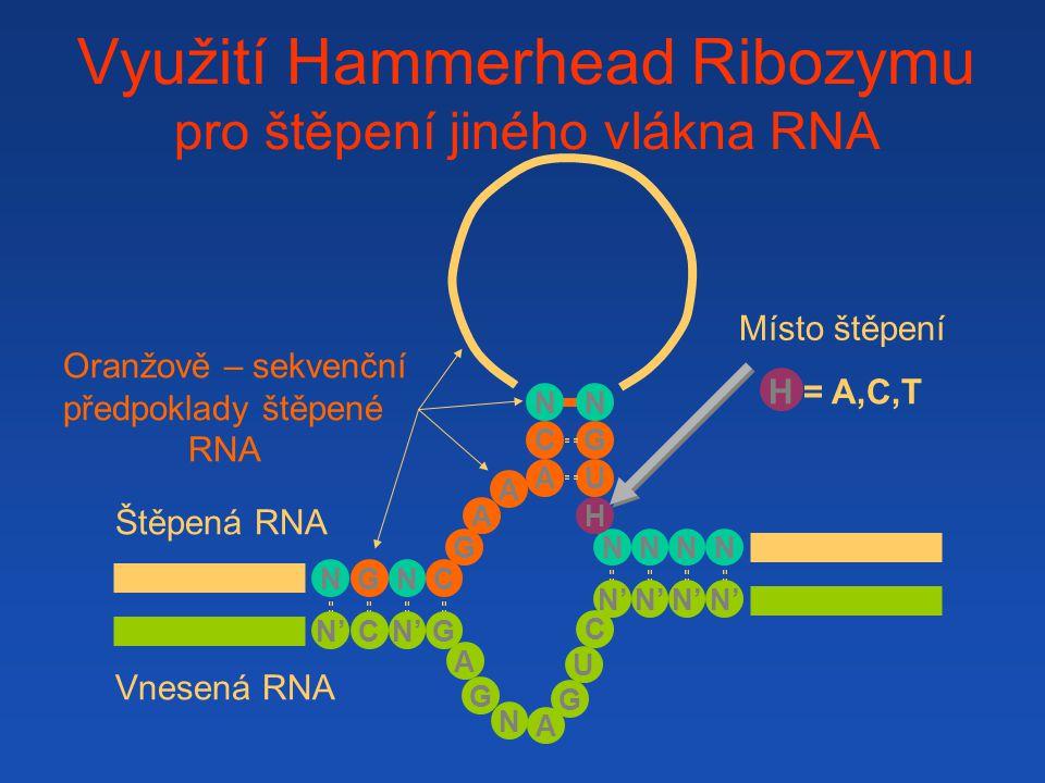 Využití Hammerhead Ribozymu pro štěpení jiného vlákna RNA A A NC G N NNNN H U G A C N G N G N' G A G U A C N C Vnesená RNA Štěpená RNA Oranžově – sekv