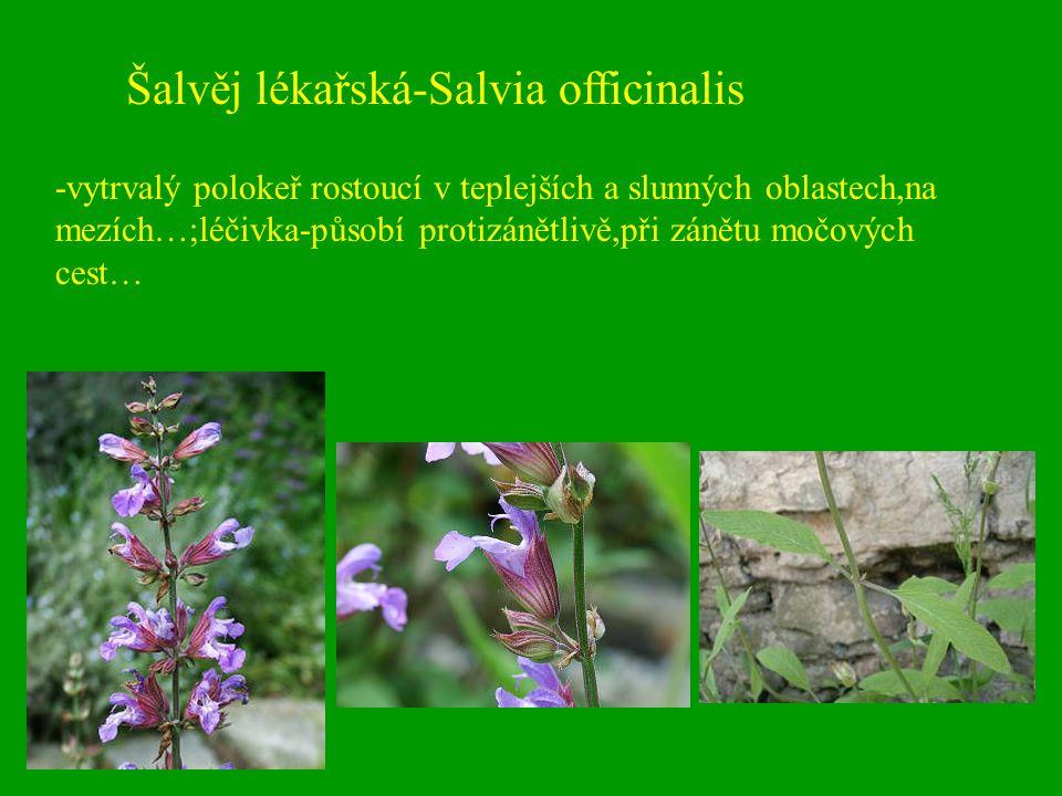 Šalvěj lékařská-Salvia officinalis -vytrvalý polokeř rostoucí v teplejších a slunných oblastech,na mezích…;léčivka-působí protizánětlivě,při zánětu mo