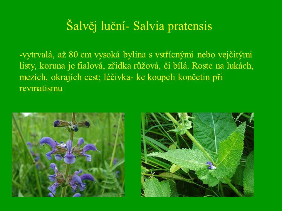 Šalvěj luční- Salvia pratensis -vytrvalá, až 80 cm vysoká bylina s vstřícnými nebo vejčitými listy, koruna je fialová, zřídka růžová, či bílá. Roste n