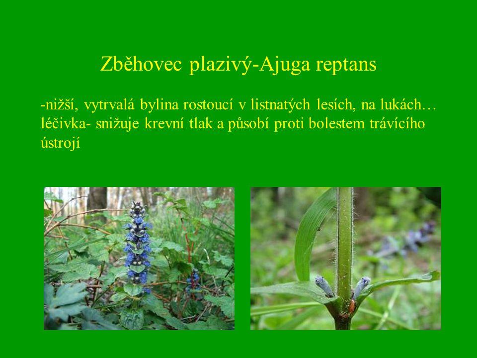Zběhovec plazivý-Ajuga reptans -nižší, vytrvalá bylina rostoucí v listnatých lesích, na lukách… léčivka- snižuje krevní tlak a působí proti bolestem t