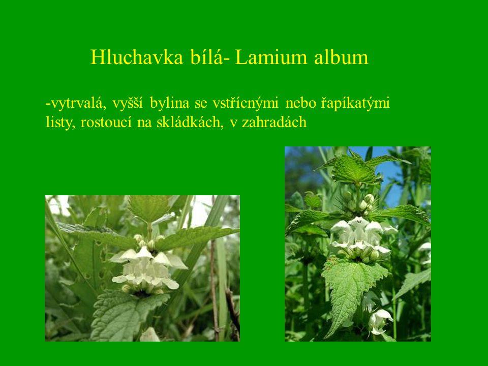 Hluchavka bílá- Lamium album -vytrvalá, vyšší bylina se vstřícnými nebo řapíkatými listy, rostoucí na skládkách, v zahradách