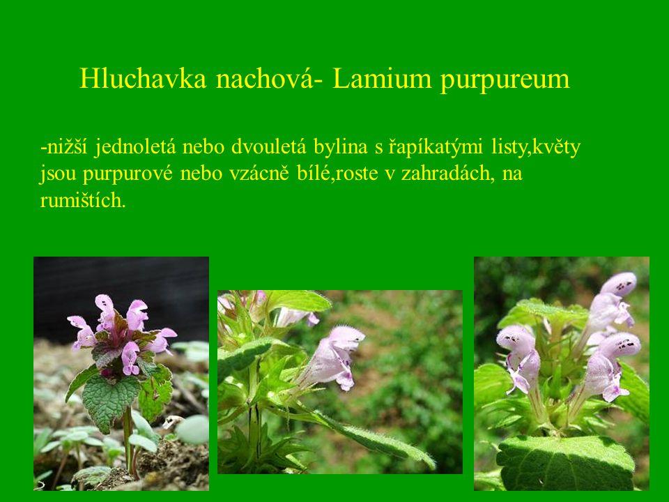Hluchavka nachová- Lamium purpureum -nižší jednoletá nebo dvouletá bylina s řapíkatými listy,květy jsou purpurové nebo vzácně bílé,roste v zahradách,