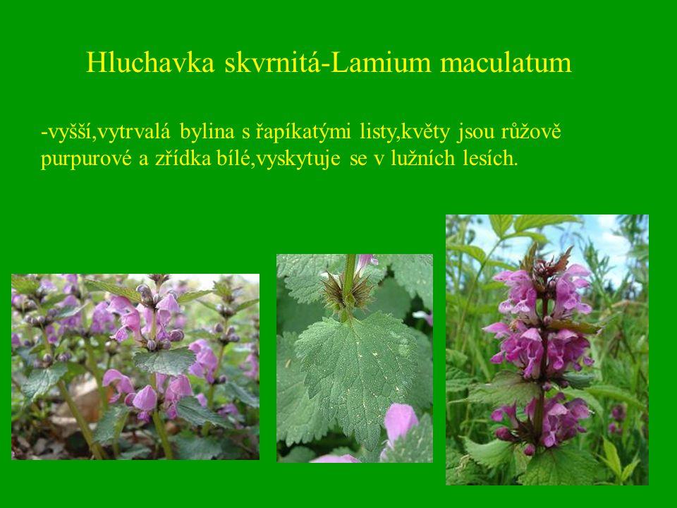 Hluchavka skvrnitá-Lamium maculatum -vyšší,vytrvalá bylina s řapíkatými listy,květy jsou růžově purpurové a zřídka bílé,vyskytuje se v lužních lesích.