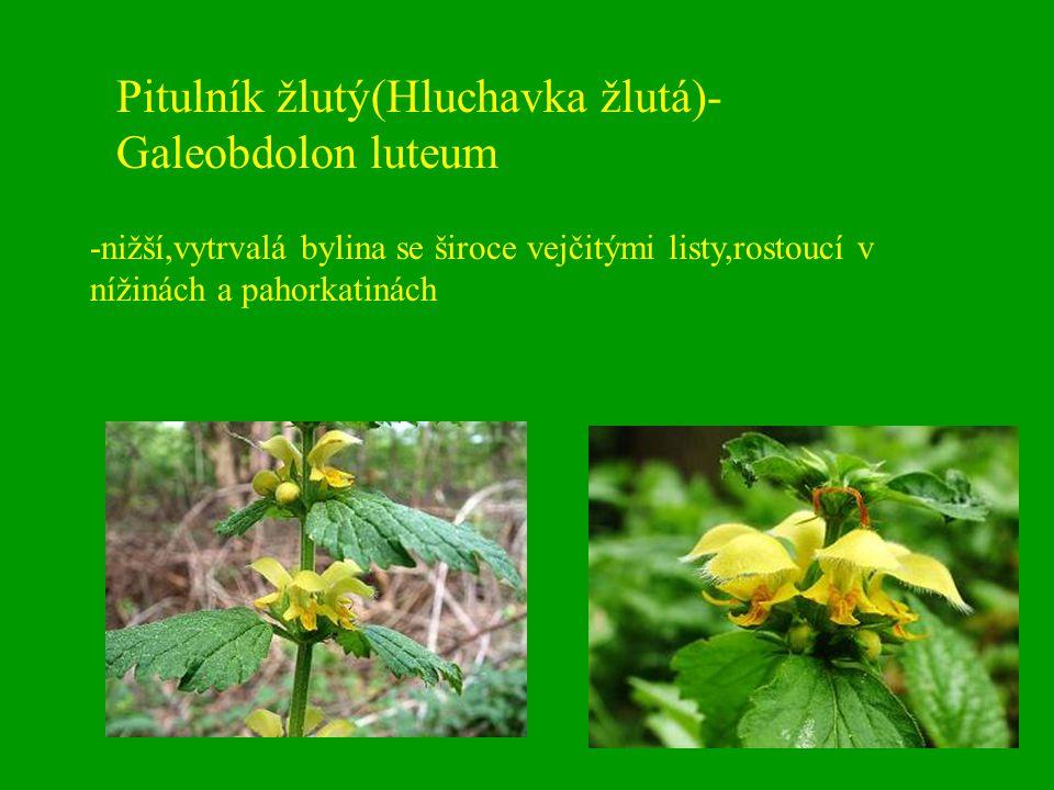 Pitulník žlutý(Hluchavka žlutá)- Galeobdolon luteum -nižší,vytrvalá bylina se široce vejčitými listy,rostoucí v nížinách a pahorkatinách