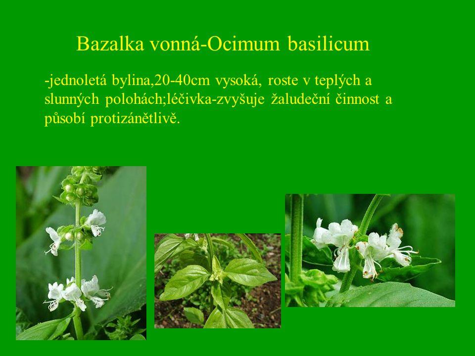 Bazalka vonná-Ocimum basilicum -jednoletá bylina,20-40cm vysoká, roste v teplých a slunných polohách;léčivka-zvyšuje žaludeční činnost a působí protiz