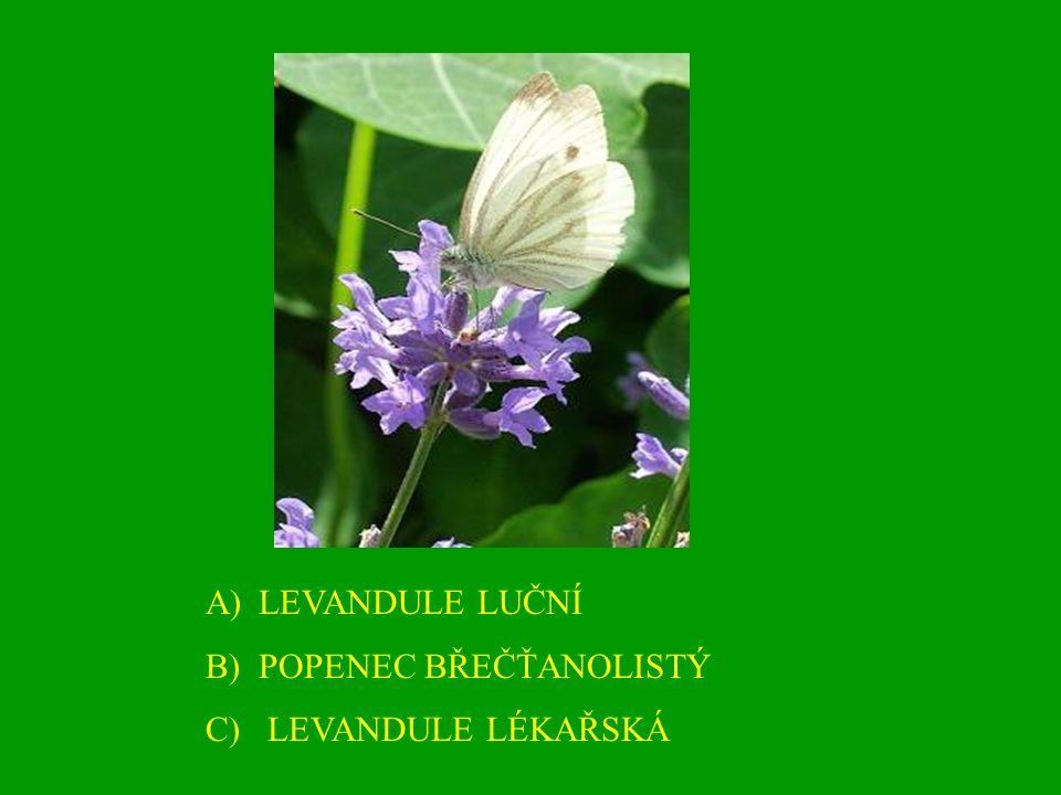 A)LEVANDULE LUČNÍ B)POPENEC BŘEČŤANOLISTÝ C) LEVANDULE LÉKAŘSKÁ