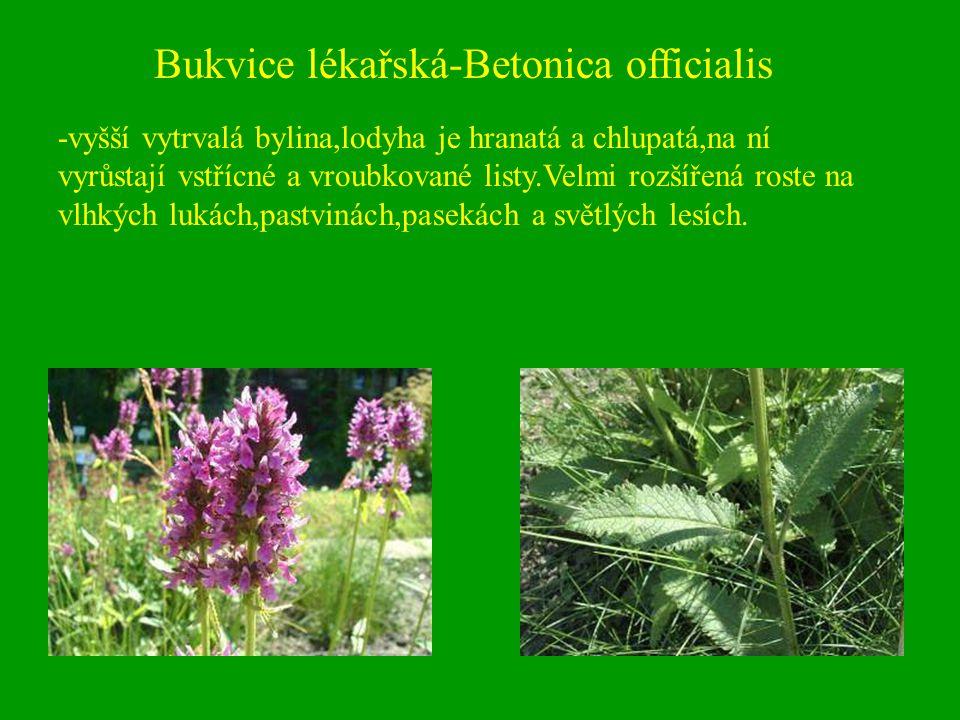 Bukvice lékařská-Betonica officialis -vyšší vytrvalá bylina,lodyha je hranatá a chlupatá,na ní vyrůstají vstřícné a vroubkované listy.Velmi rozšířená