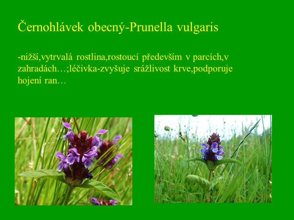 Černohlávek obecný-Prunella vulgaris -nižší,vytrvalá rostlina,rostoucí především v parcích,v zahradách…;léčivka-zvyšuje srážlivost krve,podporuje hoje