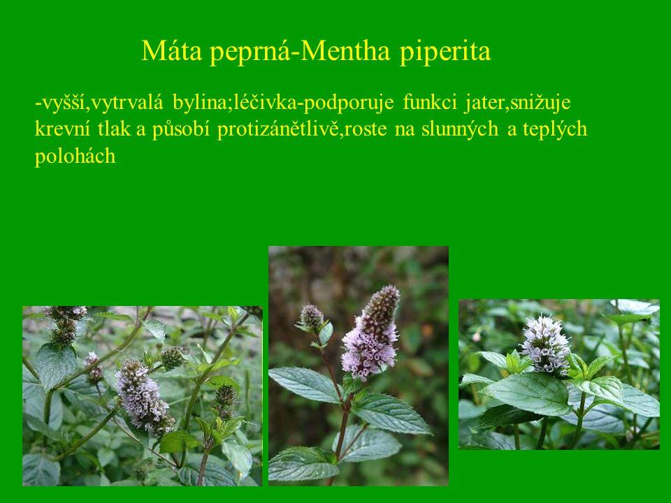 Máta peprná-Mentha piperita -vyšší,vytrvalá bylina;léčivka-podporuje funkci jater,snižuje krevní tlak a působí protizánětlivě,roste na slunných a tepl