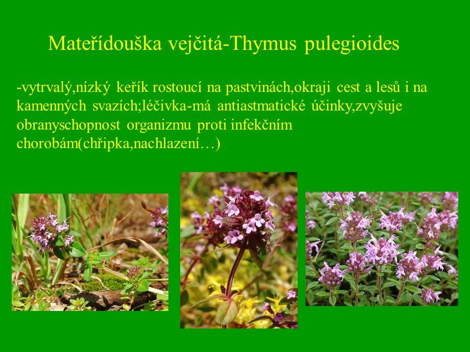 Mateřídouška vejčitá-Thymus pulegioides -vytrvalý,nízký keřík rostoucí na pastvinách,okraji cest a lesů i na kamenných svazích;léčivka-má antiastmatic