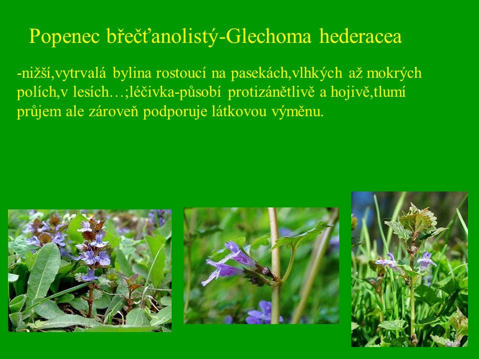 Popenec břečťanolistý-Glechoma hederacea -nižší,vytrvalá bylina rostoucí na pasekách,vlhkých až mokrých polích,v lesích…;léčivka-působí protizánětlivě