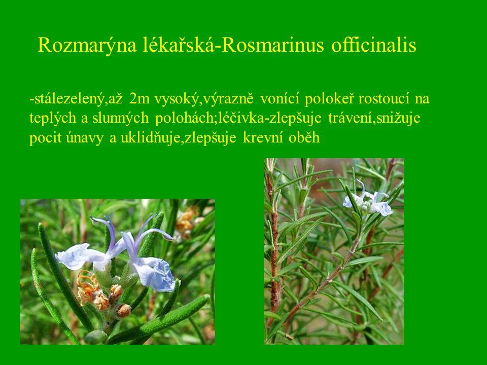 Rozmarýna lékařská-Rosmarinus officinalis -stálezelený,až 2m vysoký,výrazně vonící polokeř rostoucí na teplých a slunných polohách;léčivka-zlepšuje tr