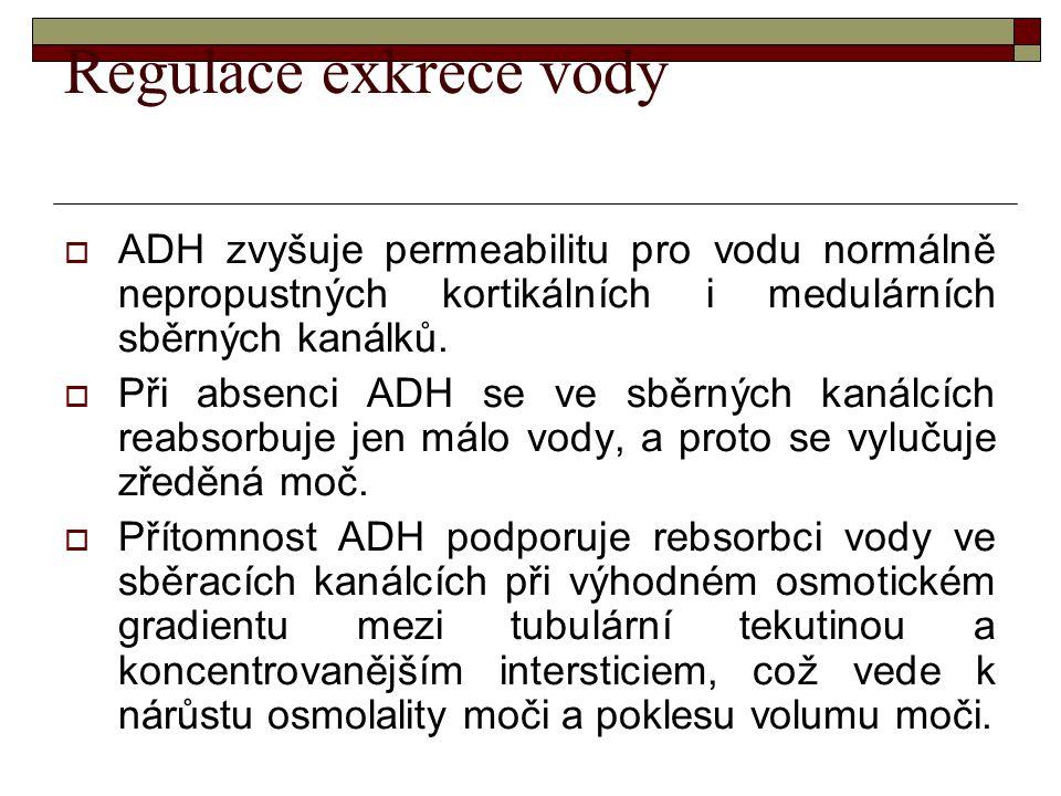 Regulace exkrece vody  ADH zvyšuje permeabilitu pro vodu normálně nepropustných kortikálních i medulárních sběrných kanálků.  Při absenci ADH se ve