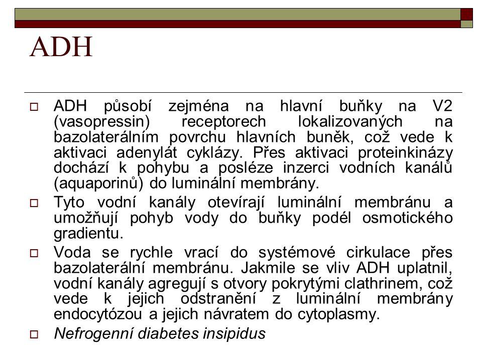 ADH  ADH působí zejména na hlavní buňky na V2 (vasopressin) receptorech lokalizovaných na bazolaterálním povrchu hlavních buněk, což vede k aktivaci
