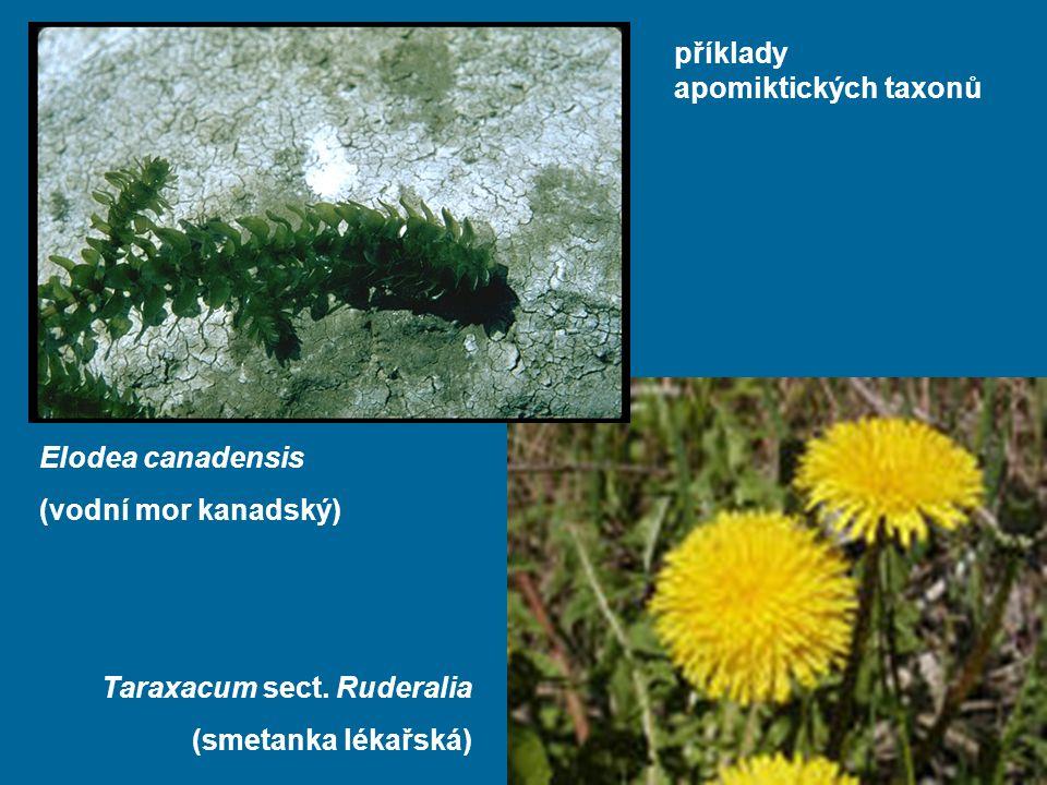 příklady apomiktických taxonů Elodea canadensis (vodní mor kanadský) Taraxacum sect. Ruderalia (smetanka lékařská)