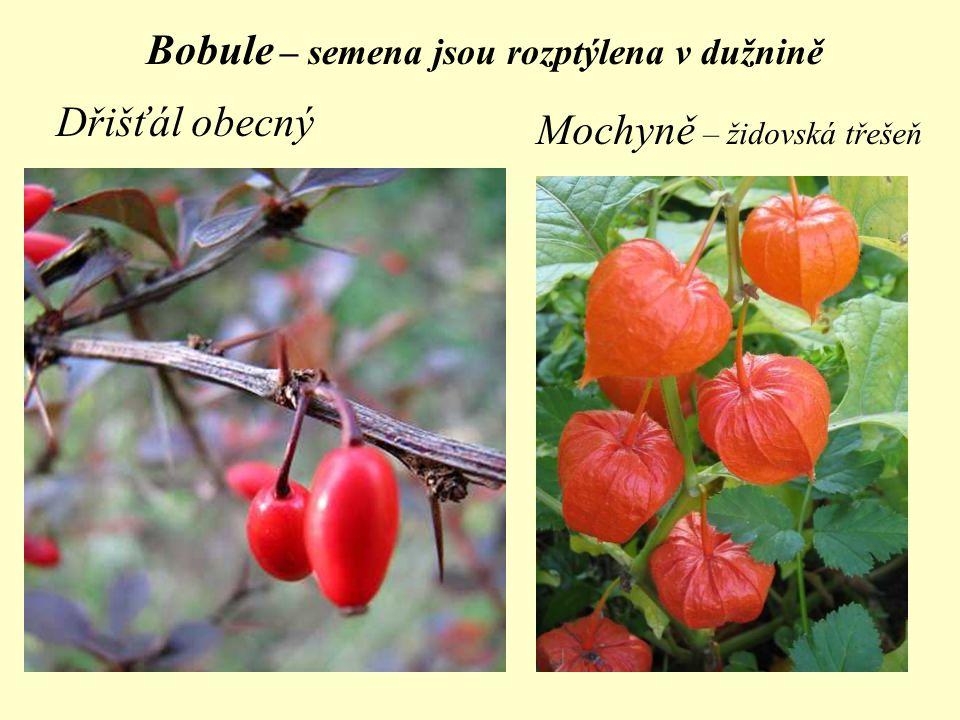 Bobule – semena jsou rozptýlena v dužnině Dřišťál obecný Mochyně – židovská třešeň