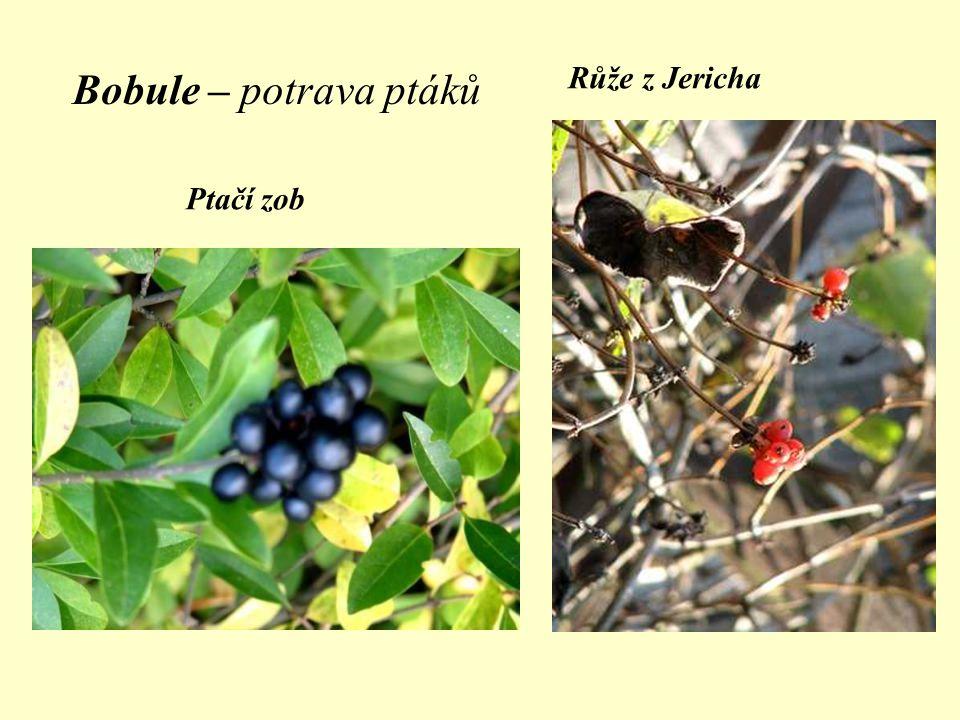 Bobule – potrava ptáků Ptačí zob Růže z Jericha