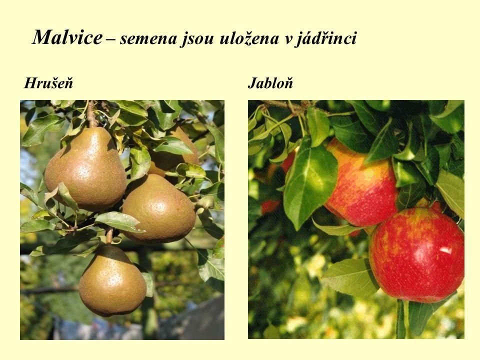 Malvice – semena jsou uložena v jádřinci HrušeňJabloň