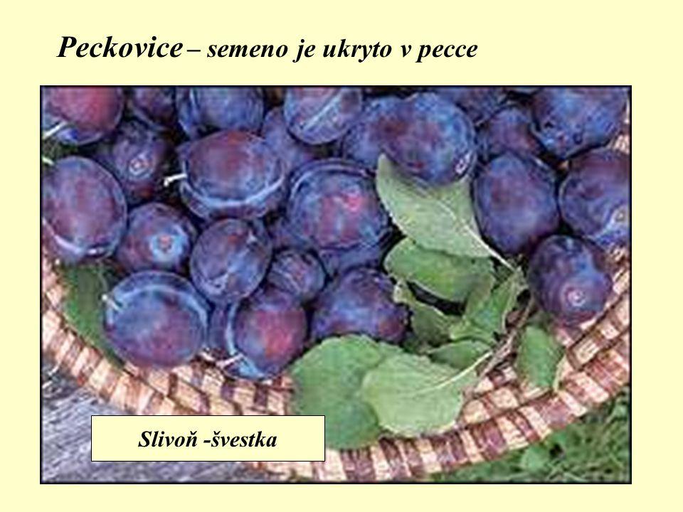 Peckovice – semeno je ukryto v pecce Slivoň -švestka