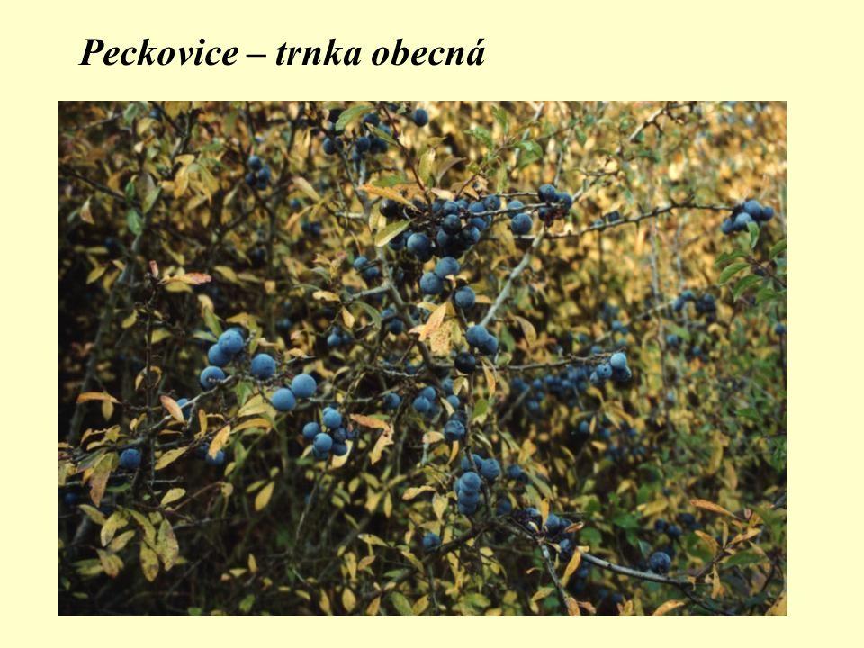 Peckovice – trnka obecná