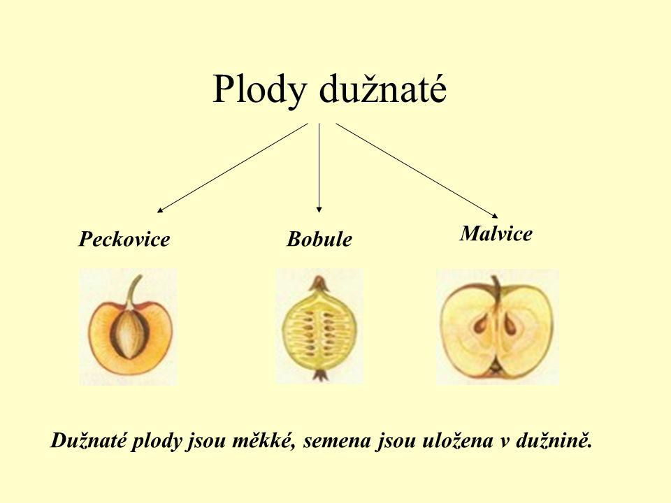 Plody dužnaté PeckoviceBobule Malvice Dužnaté plody jsou měkké, semena jsou uložena v dužnině.