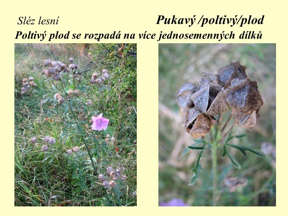 Sléz lesní Pukavý /poltivý/plod Poltivý plod se rozpadá na více jednosemenných dílků