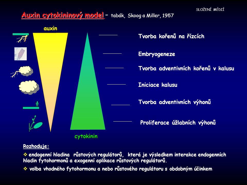 SLOŽENÍ MÉDIÍ auxin cytokinin Tvorba kořenů na řízcích Embryogeneze Tvorba adventivních kořenů v kalusu Tvorba adventivních výhonů Proliferace úžlabních výhonů Iniciace kalusu Auxin cytokininový model Auxin cytokininový model - tabák, Skoog a Miller, 1957 Rozhoduje:  endogenní hladina růstových regulátorů, která je výsledkem interakce endogenních hladin fytohormonů a exogenní aplikace růstových regulátorů.
