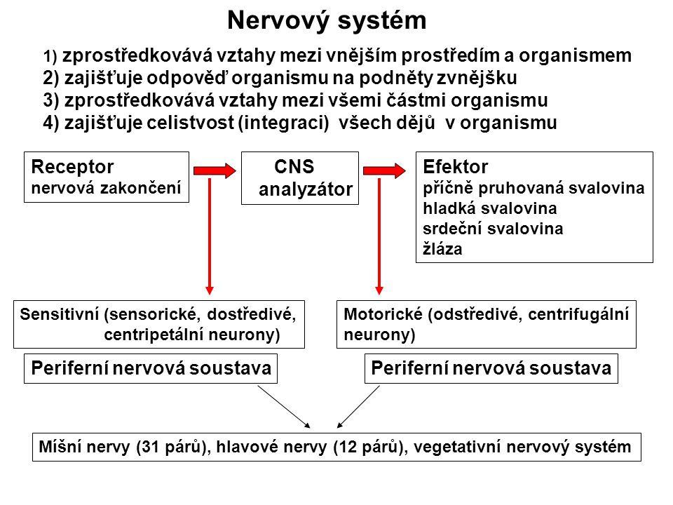 Nervový systém 1) zprostředkovává vztahy mezi vnějším prostředím a organismem 2) zajišťuje odpověď organismu na podněty zvnějšku 3) zprostředkovává vztahy mezi všemi částmi organismu 4) zajišťuje celistvost (integraci) všech dějů v organismu Receptor nervová zakončení CNS analyzátor Efektor příčně pruhovaná svalovina hladká svalovina srdeční svalovina žláza Sensitivní (sensorické, dostředivé, centripetální neurony) Motorické (odstředivé, centrifugální neurony) Periferní nervová soustava Míšní nervy (31 párů), hlavové nervy (12 párů), vegetativní nervový systém