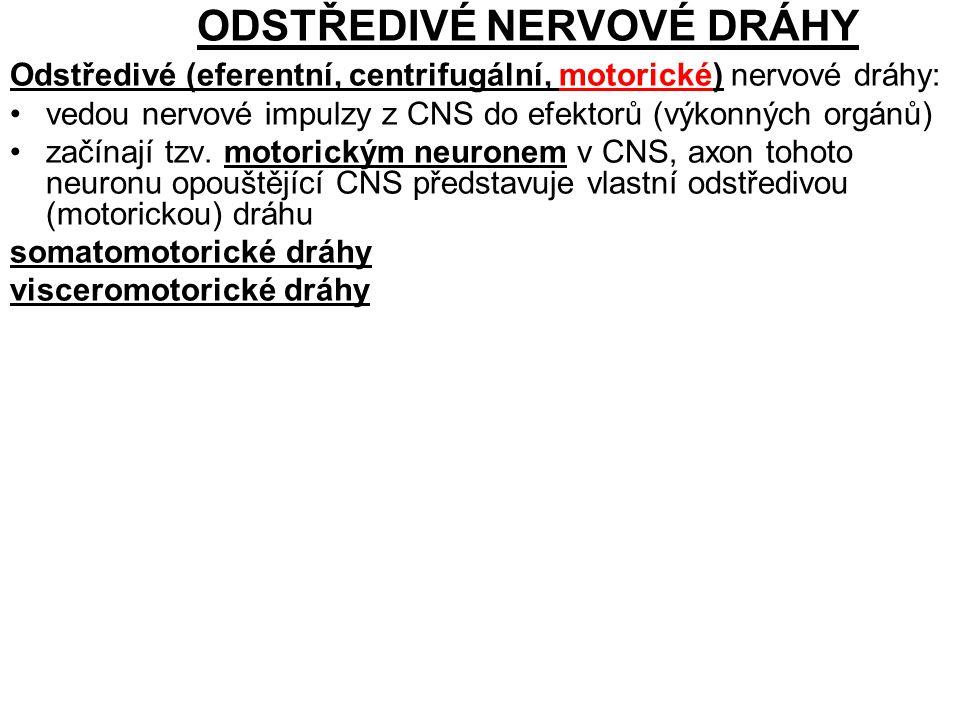ODSTŘEDIVÉ NERVOVÉ DRÁHY Odstředivé (eferentní, centrifugální, motorické) nervové dráhy: vedou nervové impulzy z CNS do efektorů (výkonných orgánů) začínají tzv.