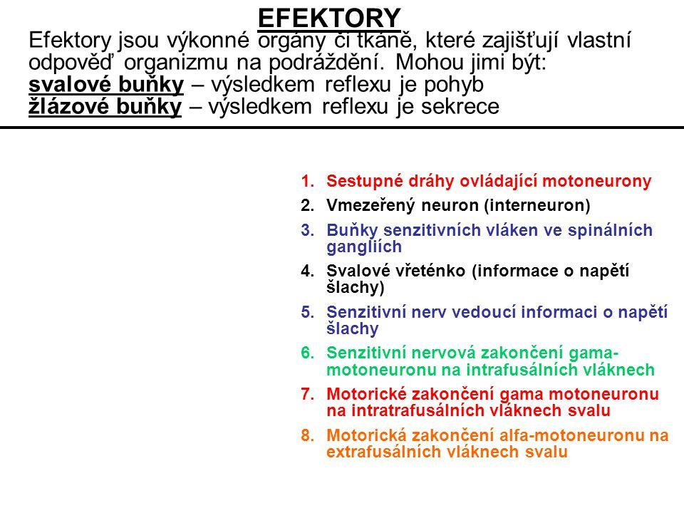 Efektory jsou výkonné orgány či tkáně, které zajišťují vlastní odpověď organizmu na podráždění.