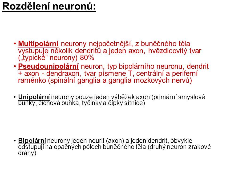 """Rozdělení neuronů: Multipolární neurony nejpočetnější, z buněčného těla vystupuje několik dendritů a jeden axon, hvězdicovitý tvar (""""typické neurony) 80% Pseudounipolární neuron, typ bipolárního neuronu, dendrit + axon - dendraxon, tvar písmene T, centrální a periferní raménko (spinální ganglia a ganglia mozkových nervů) Unipolární neurony pouze jeden výběžek axon (primární smyslové buňky, čichová buňka, tyčinky a čípky sítnice) Bipolární neurony jeden neurit (axon) a jeden dendrit, obvykle odstupují na opačných pólech buněčného těla (druhý neuron zrakové dráhy)"""
