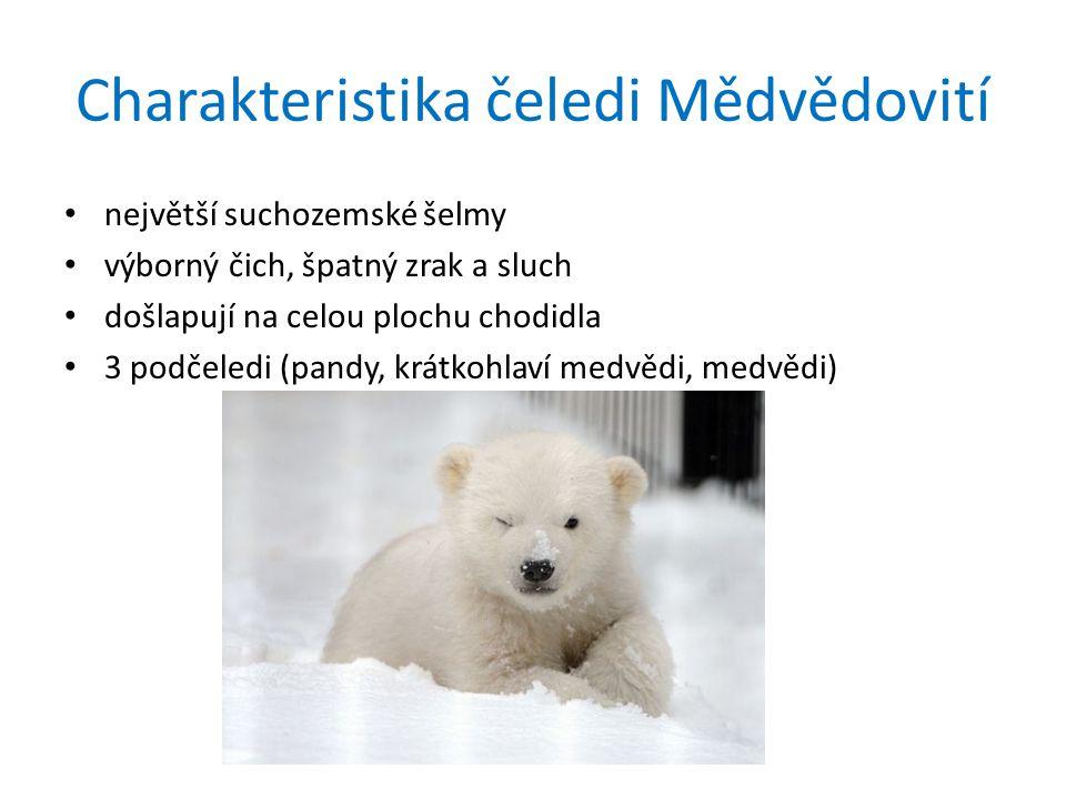 Charakteristika čeledi Mědvědovití největší suchozemské šelmy výborný čich, špatný zrak a sluch došlapují na celou plochu chodidla 3 podčeledi (pandy, krátkohlaví medvědi, medvědi)