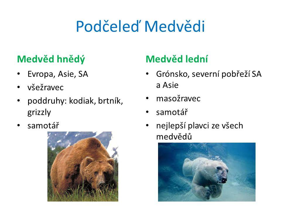 Podčeleď Medvědi Medvěd hnědý Evropa, Asie, SA všežravec poddruhy: kodiak, brtník, grizzly samotář Medvěd lední Grónsko, severní pobřeží SA a Asie masožravec samotář nejlepší plavci ze všech medvědů