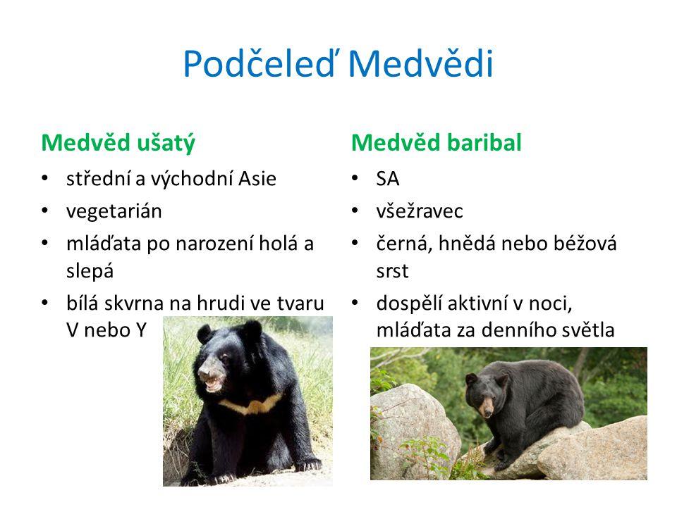 Podčeleď Medvědi Medvěd hnědý Evropa, Asie, SA všežravec poddruhy: kodiak, brtník, grizzly samotář Medvěd lední Grónsko, severní pobřeží SA a Asie mas