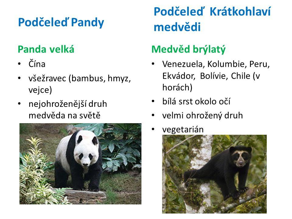 Panda velká Čína všežravec (bambus, hmyz, vejce) nejohroženější druh medvěda na světě Podčeleď Krátkohlaví medvědi Medvěd brýlatý Venezuela, Kolumbie, Peru, Ekvádor, Bolívie, Chile (v horách) bílá srst okolo očí velmi ohrožený druh vegetarián Podčeleď Pandy